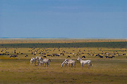 Wildebeest and zebras in the Serengeti Plains during migration. Serengeti National Park, Tanzania