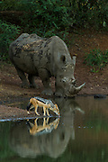 White Rhinoceros (Ceratotherium simum) & Black-backed Jackal (Canis mesomelas)<br /> Private Reserve, <br /> SOUTH AFRICA<br /> RANGE: Southern & East Africa<br /> ENDANGERED SPECIES