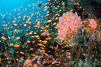A tightly packed school of Anthias feeds in the current<br /> Shot in Indonesia