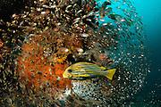 Yellow-ribbon sweetlip (Plectorhinchus polytaenia) Raja Ampat, West Papua, Indonesia, Pacific Ocean | Goldband-Süßlippe (Plectorhinchus polytaenia) Raja Ampat, West Papua, Indonesien, Pazifischer Ozean