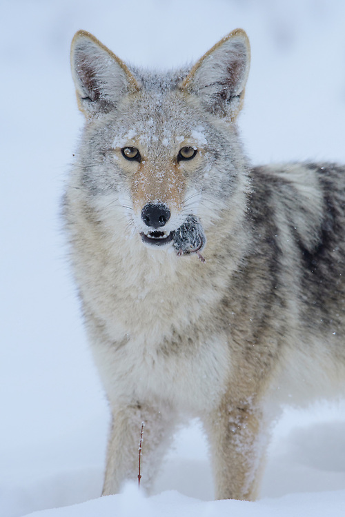 Coyote (Canis latrans)  after catching a vole, North America