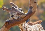Safari West 2016