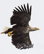 White-tailed eagle in Smøla, Norway.