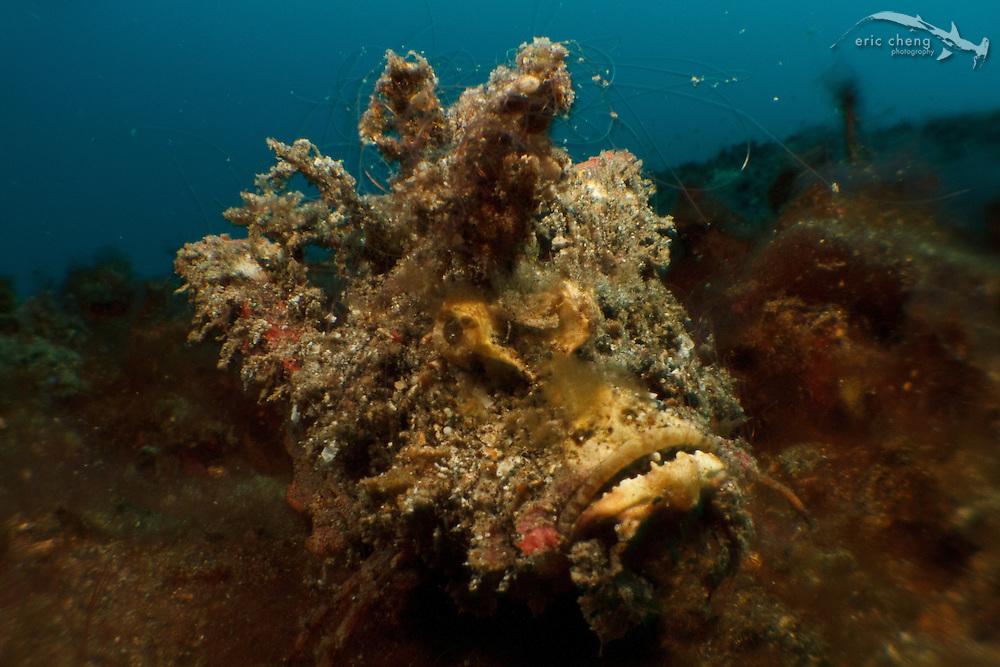 Devil scorpionfish (Inimicus didactylus), AKA spiny devilfish. Lembeh Strait, Indonesia. echeng100306_0253387