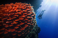 Pulau Batudaka, Togean Islands, Central Sulawesi, Indonesia. Diving the waters around Pulau Batudaka we encounter huge barrel sponges and visibility up to 50 meters, but hardly any fish.  The Togean or Togian Islands are an archipelago of 56 islands and islets, in the Gulf of Tomini, off the coast of Central Sulawesi, in Indonesia. The dark green of the islands and the cristal clear water is a perfect setting and has attracted many travellers during the last years. Travellers endure the long journey in search of the mythical beach paradise. Photo by Frits Meyst/Adventure4ever.com
