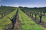 Vineyard in earlly spring in the Shenandoah Valley near Plymouth, Amador County, California