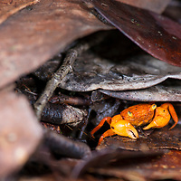 A unique Terrestrial crab, Geosesarma aurantium, endemic to the summit of Gunung Silam, Sabah, Malaysia, Borneo, South East Asia.
