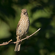 Female Housefinch on a branch with pretty light and a green and black background showing shadows of leaves.