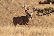 Mule deer (Odocoileus hemionus)Non-typical mule deer buck in Colorado