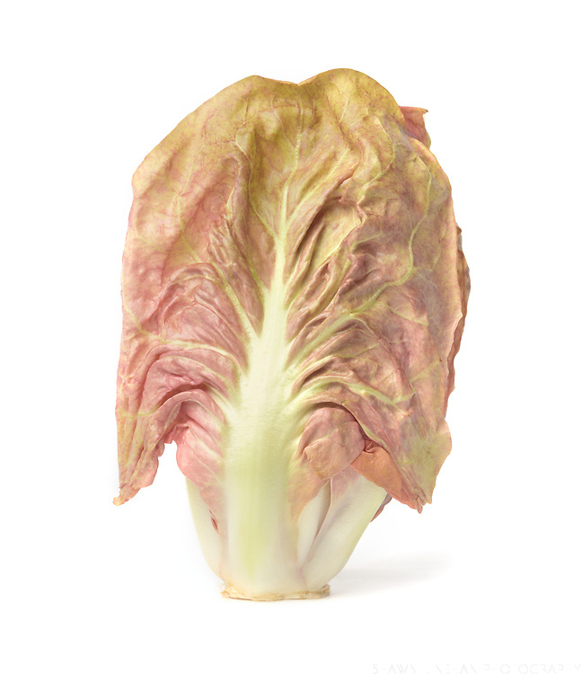 Chicories grown by Oregon State University