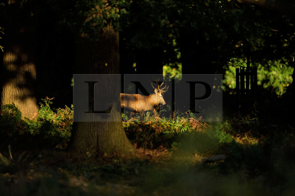 © Licensed to London News Pictures. 09/10/2016. London, UK. A deer stag seen walking through woodland at sunrise on a bright Autumnal morning in Richmond Park in London. Photo credit: Ben Cawthra/LNP
