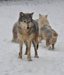 © Licensed to London News Pictures. 18 January 2013. Burford Oxfordshire. Snow hits Oxfordshire today. Wolves enjoy the snow at the Cotswold Wild Life Park near Burford. Photo credit : MarkHemsworth/LNP