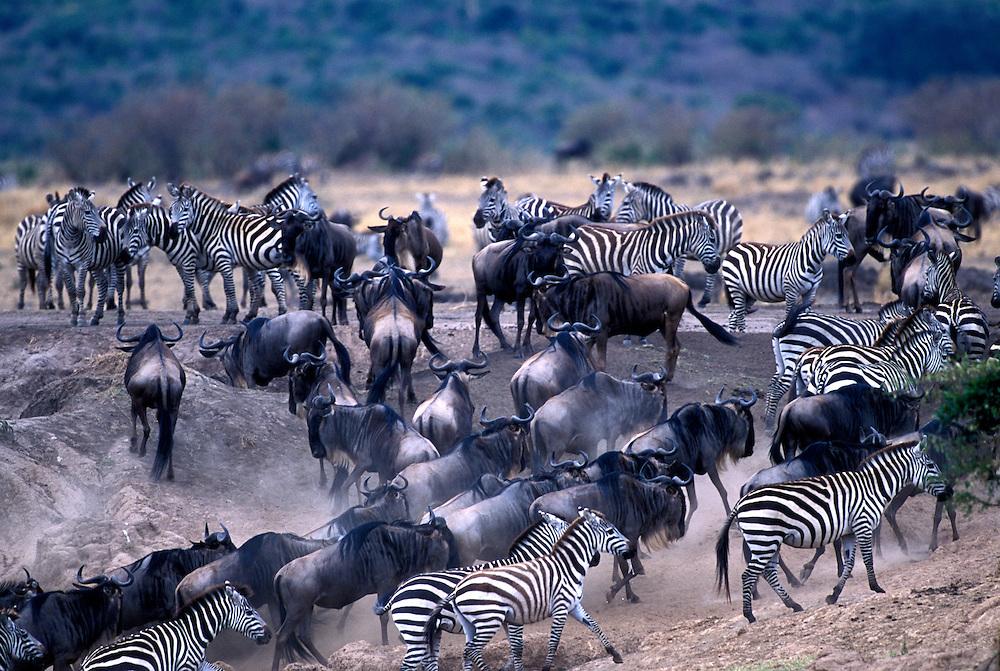 Kenya, Masai Mara Game Reserve, Plains Zebra (Equus burchelli) and Wildebeest (Connochaetes taurinus) by Mara River during migration