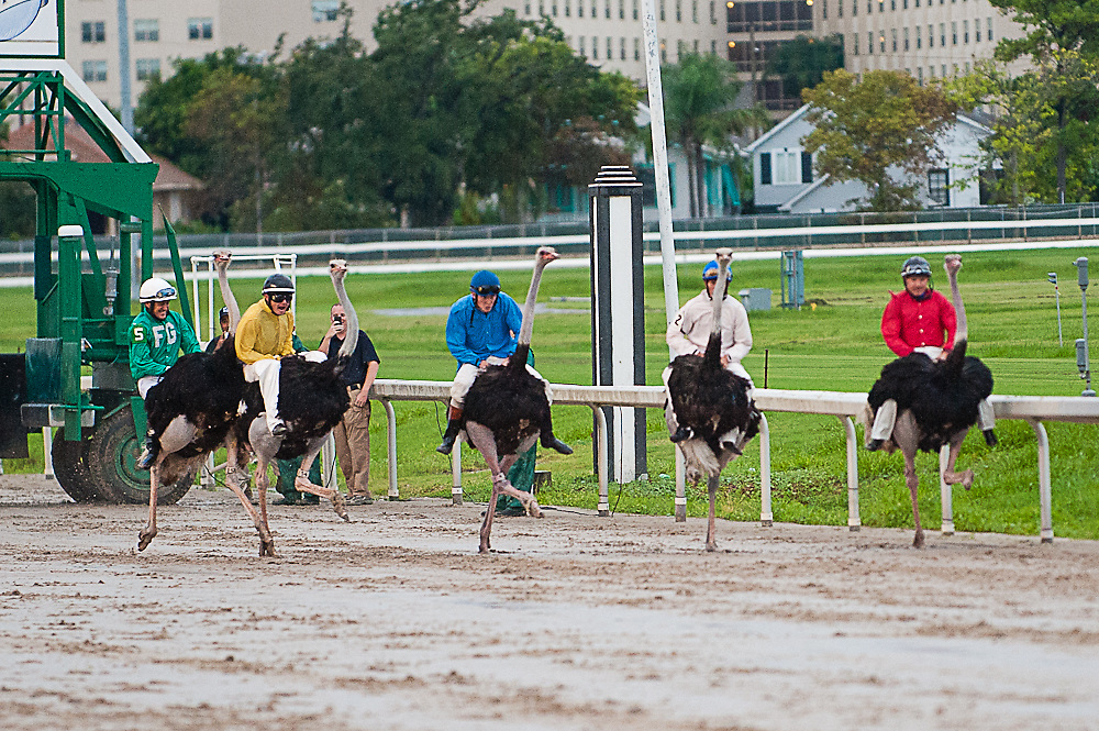Ostrich and Camel race at the Fairgrounds