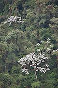 Cecropia trees in cloud forest; Tapichalaca Reserve; Ecuador, Zamora-Chinchipe