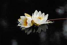 Nymphaeaceae, Waterleliefamilie