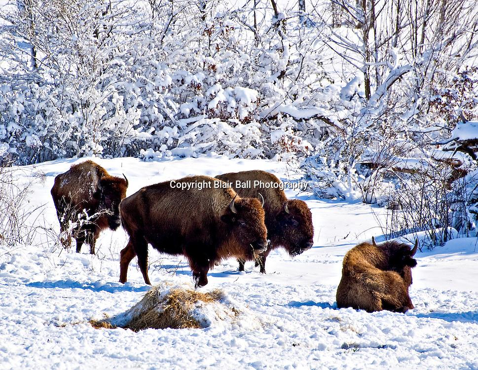 Buffalo at Shelby Farms after winter snowfall Memphis TN.