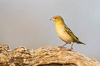 Male Yellow Weaver in non-breeding plumage, Zimanga Game Reserve, KwaZulu Natal, South Africa