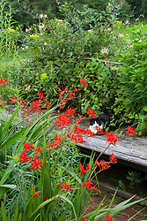 Crocosmia 'Lucifer' at Glebe Cottage with honeysuckle in the background. Cat on bench