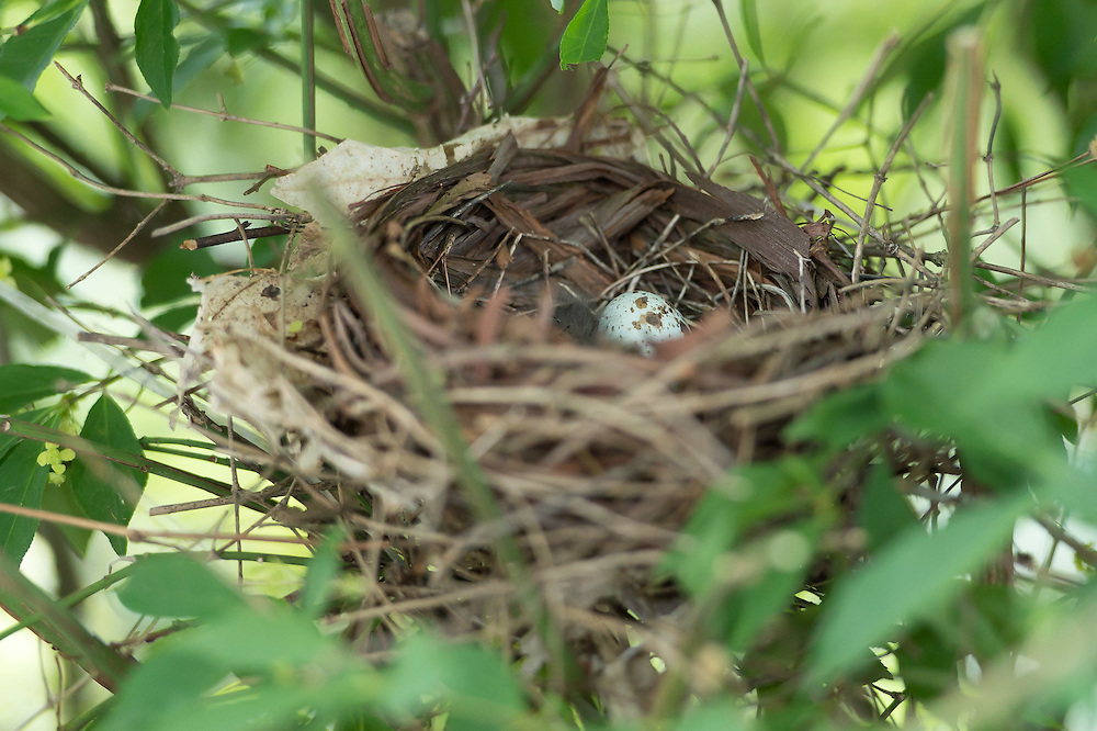 Cardinal Nest 2012 with three eggs