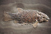 Fossilized remains of a prehistoric fish (Lepidotes). This example has been particularly well preserved, with the scale patterns and the large, bony head clearly defined. This fish was about 80cm in length, and was found in the Holzmaden area of Germany. Such a piece commands very high prices at fossil fairs, such as the one at Tucson, Arizona. (1991)