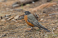 Robin searching floor of ponderosa pine forest for insect prey, © 2014 David A. Ponton