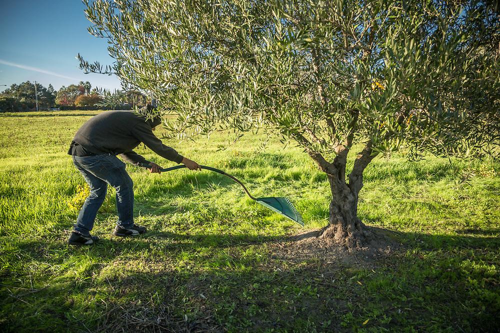 Rueben Blancas harvests olives on the north side of Calistoga.