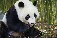 Giant panda, Ailuropoda melanoleuca, sitting upright in a bamboo grove eating.