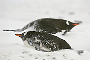 Gentoo Penguins on lay on eggs during a storm.