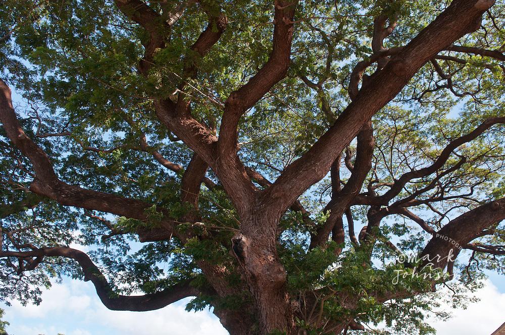 Monkey Pod tree, Waimea Town, Kauai, Hawaii