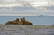 Walrusses at Phippsøya, one of the Seven Islands, off northern Nordaustlandet, Svalbard. July 2012.