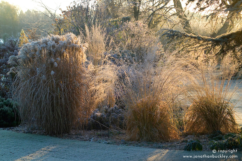 Grasses border backlit by winter sunlight on a frosty winter's morning. Molinia caerulea subsp. arundinacea 'Transparent and Miscanthus sacchariflorus robustus