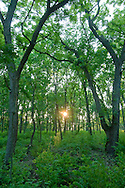 As the summer sun dips low in the sky, it's seen through the thick growth of the green forest.