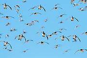 American Wigeon, Anas americana, Socorro, New Mexico