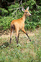 Marsh Deer (Blastocerus dichotomus ) - female -  listed as  a vulnerable species.Largest deer of South America., The Pantanal, M