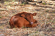 A calf that is part of a herd of range cattle sits under a tree in the foothills of the Santa Rita Mountains of the Coronado National Forest in the Sonoran Desert north of Sonoita, Arizona, USA.
