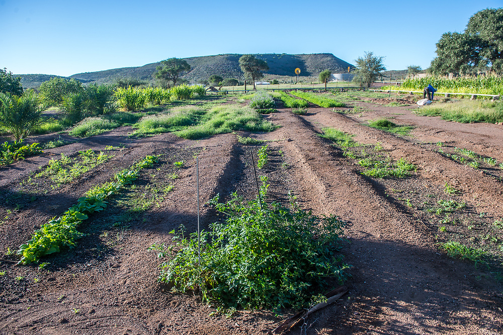 Crops growing on Dabis Guest Farm in Helmeringhausen, southern Namibia, Africa.