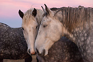 Percheron Horse Drive