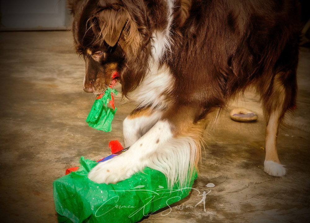 Cowboy, a five-year-old, red-tri Australian Shepherd, opens a Christmas present, Dec. 25, 2013, in Coden, Alabama. (Photo by Carmen K. Sisson/Cloudybright)