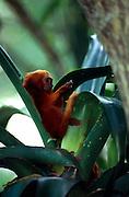 Wie alle vier Löwenäffchen-Arten bevorzugt auch das Goldene Löwenäffchen Regenwald-Gebiete, in denen Aufsitzerpflanzen aus der Gruppe der Bromelien besonders häufig vorkommen. | Like all four species of Lion Tamarins the Golden Lion Tamarin prefers lowland rainforests which have an abundance of bromeliad epiphytes.