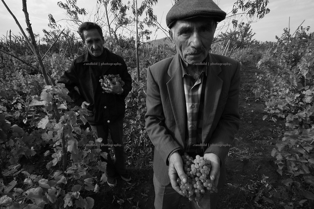 Villagers of Dizi harvesting their grapes close to the ossetian frontline in the so called bufferzone between Gori and Tskhinvali, few days after the withdrawal of the russian forces from the area. The bufferzone was etablished after a short war in August 2008 as the georgian army assulted South Ossetia to overthrow the local separatist government.