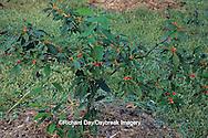 63808-01612 Common Winterberry (Ilex verticillata) Marion Co.   IL
