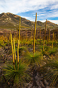 Grass Trees at Wilsons Prom or Wilsons Promontory Marine Park, Gippsland, Victoria, Australia. This area had suffered recent bushfires - evident in some photos. Some grass trees are stimulated by bush fires.