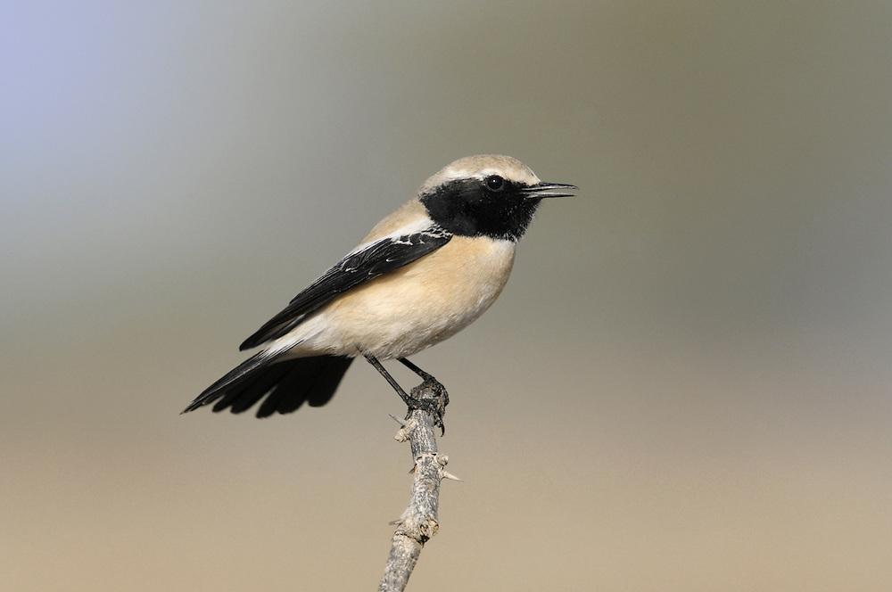 Desert Wheatear Oenanthe deserti. When high pressure builds over Scandinavia in the autumn, a strong easterly flow of air usually floods across Europe and brings with it a scattering of unusual passerine birds from as far away as Siberia or central Asia. Typically records relate to juveniles whose migratory instincts have failed them. Easterly winds continue to bring unusual sighting right through to the start of winter. Just when it seems that autumn migration has finished, a spell of easterly winds in November will sometimes bring a surprise in the form of a Desert Wheatear Oenanthe deserti, which by rights should be spending the winter in Africa, the Middle East or south Asia.