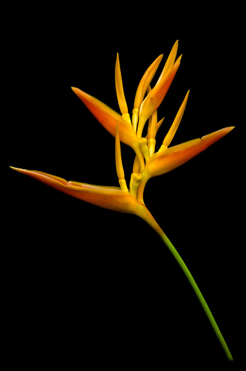 Stock photograph of a yellow-orange Heliconia flower against a black background