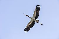 Yellow-Billed Stork in flight, Gorongosa National Park, Inhambane Province, Mozambique