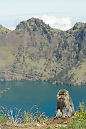Indonésie, Petites îles de la Sonde Occidental, Lombok, parc national de Gunung Rinjani, macaque crabier mâle (Macaca fascicularis) sur le bord du cratère, lac Segara Anak en arrière plan // Indonesia, West Nusa Tenggara, Gunung Rinjani National Park, Male Crab-eating Macaque or  Long-tailed Macaque (Macaca fascicularis) on the crater rim,  Segara Anak lake in backgroud