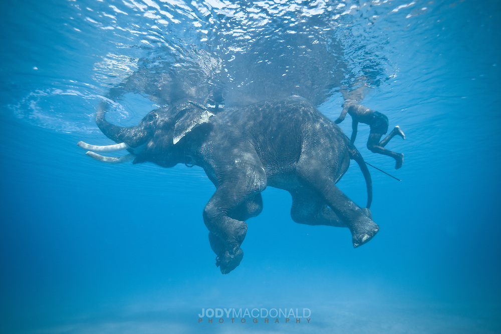 Rajan right at home, the last of the salt-water swimming elephants on Earth