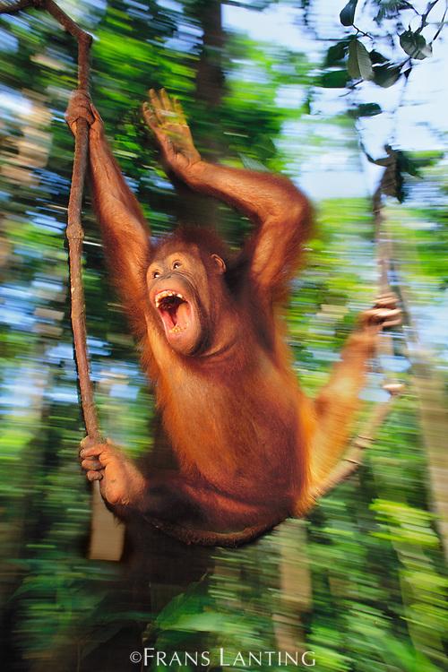 Orangutan juvenile swinging, Sepilok Reserve, Sabah, Borneo