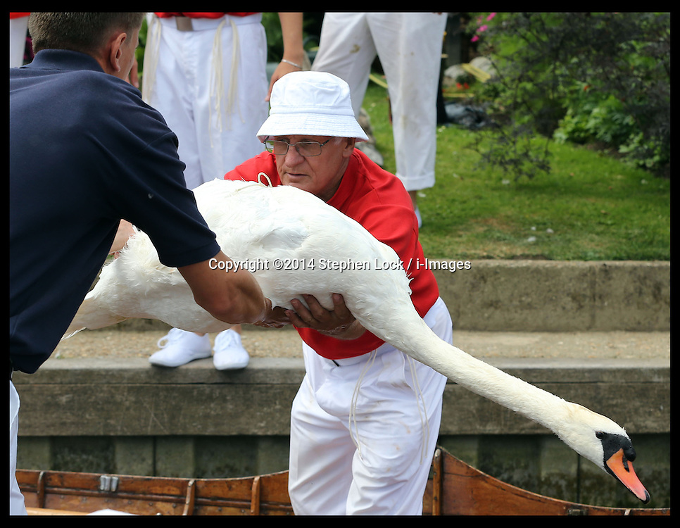 Image licensed to i-Images Picture Agency. 14/07/2014. Shepperton, United Kingdom. Swan Uppers take a swan out of the water during the Swan Upping, the annual census of the swan population on the river Thames .Picture by Stephen Lock / i-Images